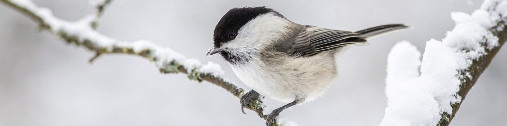 willow-tit-4885941_1920